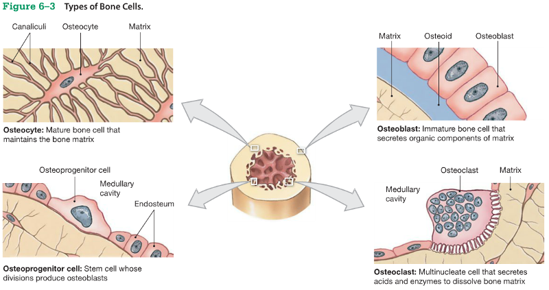 Types Of Bone Cells Types Of Bones Labeling Activities Human Anatomy And Physiology