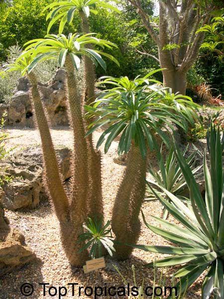 Pachypodium Lamerei Madagascar Palm Cactus N Succulent