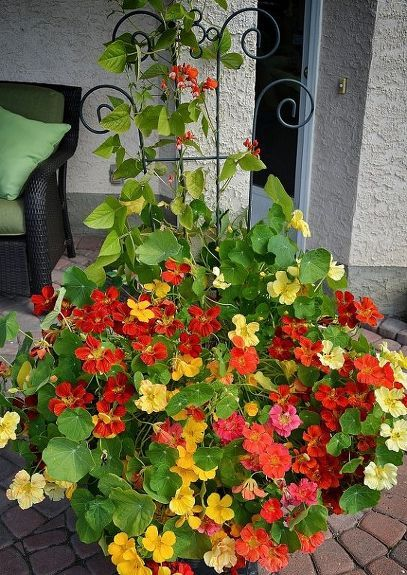 Growing Nasturtiums: From Seed To Showstopper Outdoor Planters!