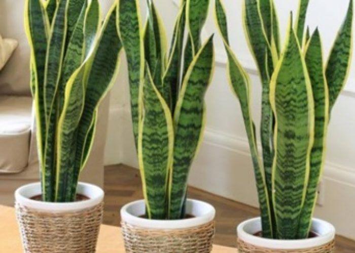 Zuiverende Planten Slaapkamer : Deze planten verbeteren de slaap en zuiveren de lucht in je