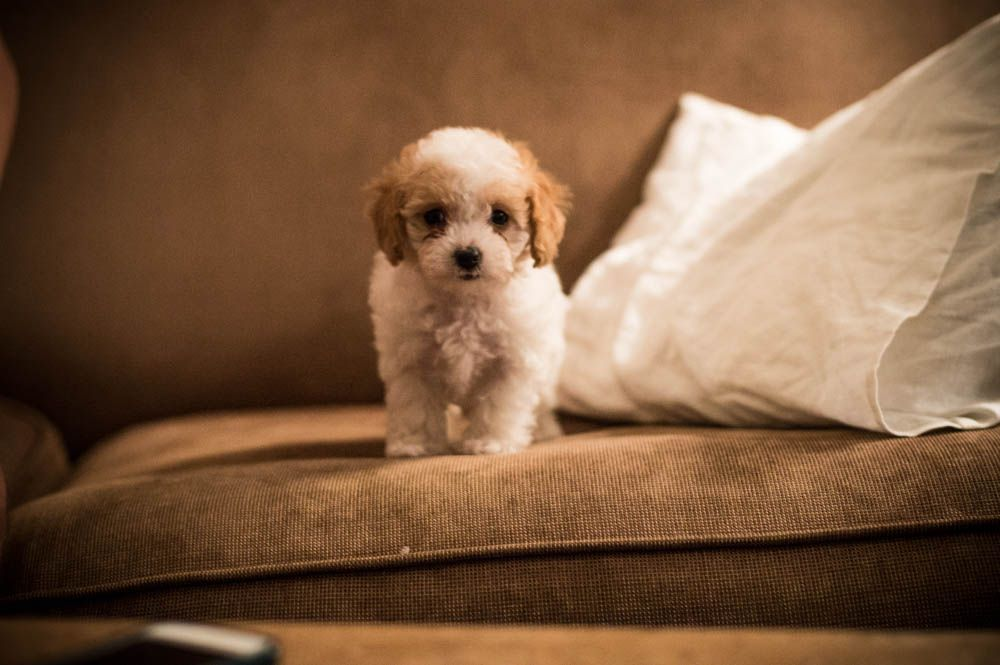 Cavapoo Puppy Cavapoo Puppy Cavoodle Cavoodle Puppy Red And White Puppy Cavapoo Puppies White Puppies Dogs