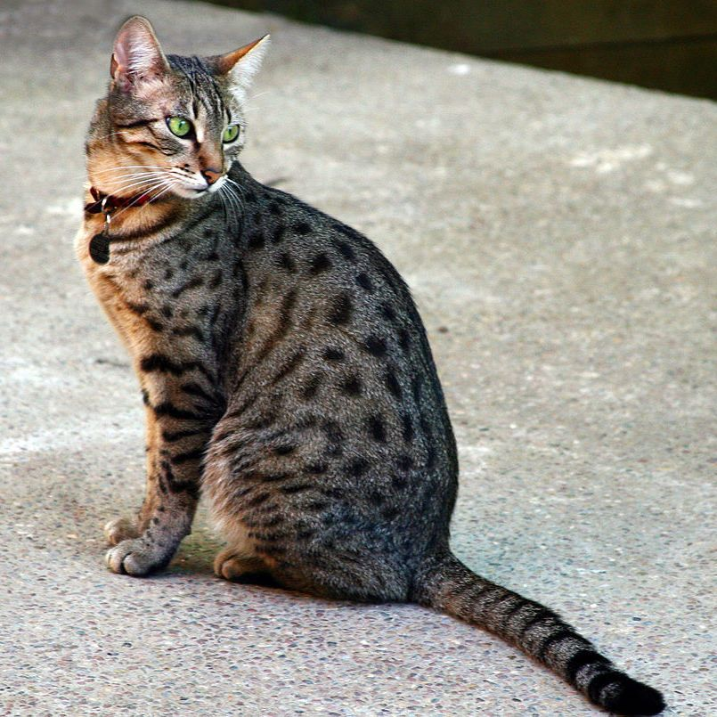 Egyptian Mau Cat Cat Breeds Cat Having Kittens Cats