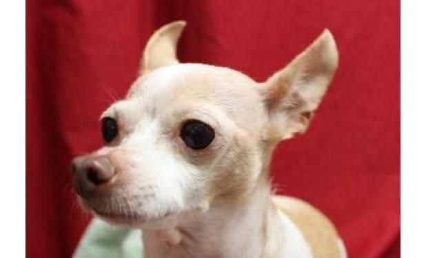 Peanut - an 8 yr old Chihuahua mix - was ADOPTED from the Seattle Humane Society, Feb. 2014
