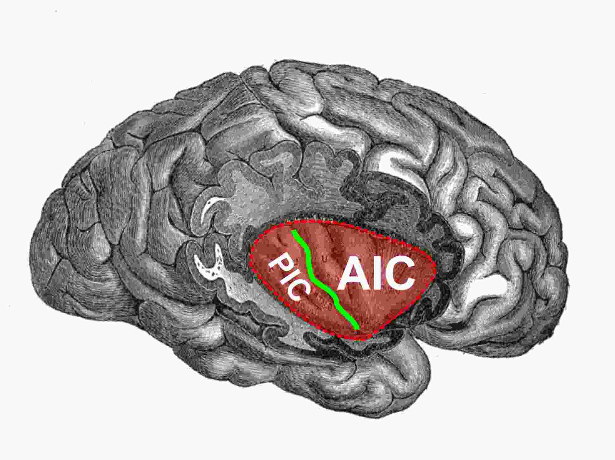 The insular cortex is indicated by the red area whilst the green ...