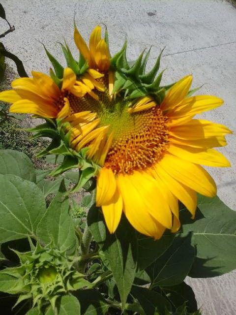 Bunga Matahari Merekah Indah Plants