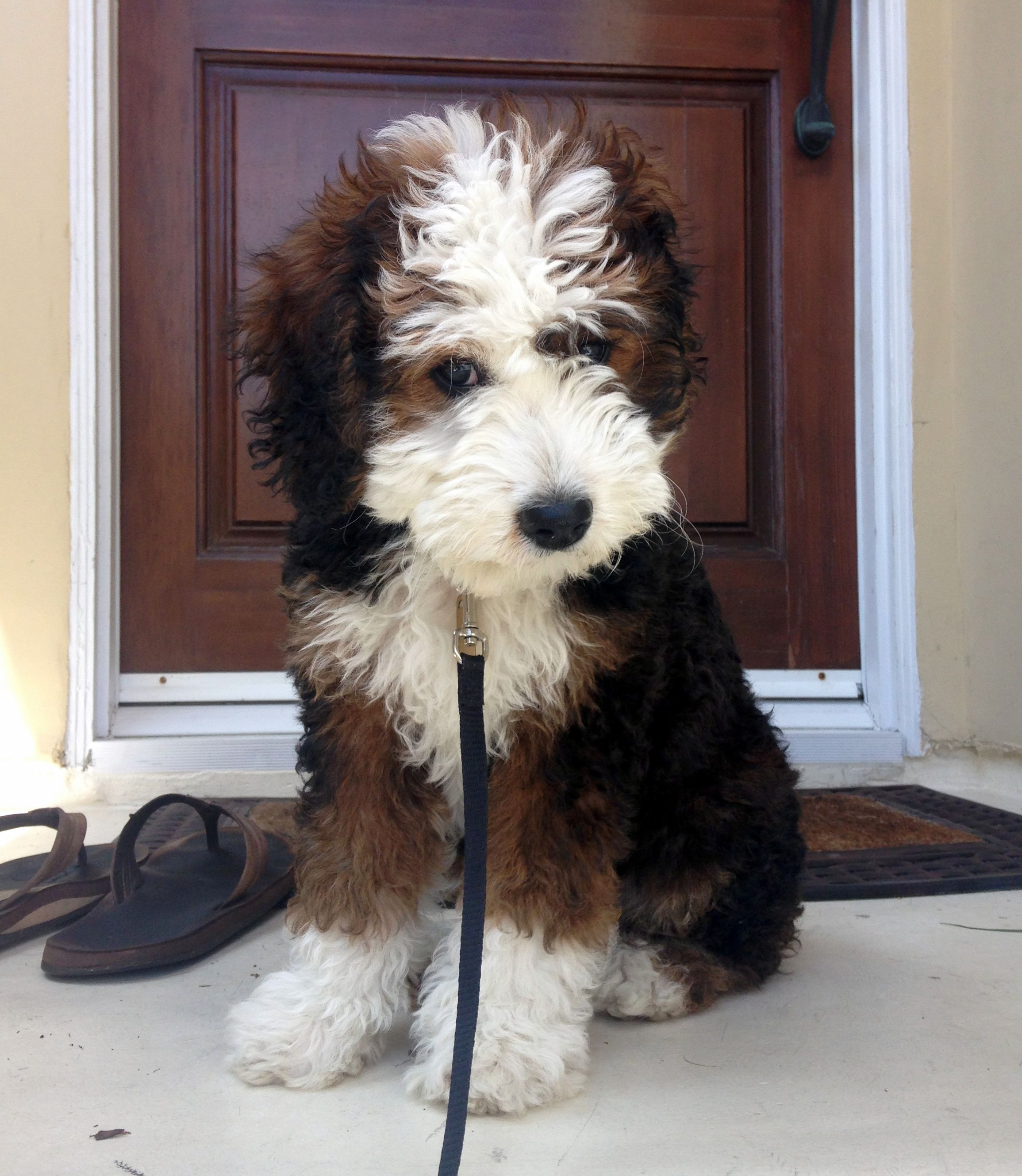 Reddit Meet Zuri Our 13 Week Old Mini Bernedoodle Not To Be
