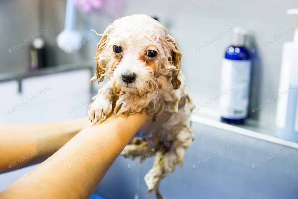Series Of Cute Poodle Puppy Being Showered Bath With Shampoo By