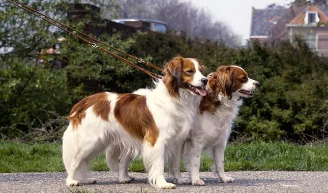 Kooikerhondje Dog Breed Information Rare Dog Breeds Dog Breeds Dogs