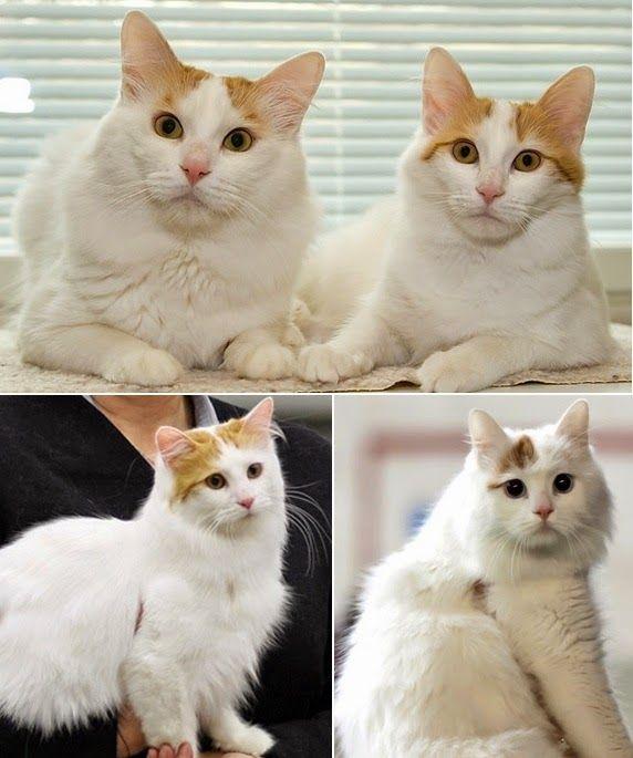 4d0778e8e2 Turkish Van ~ Anatolian Cat