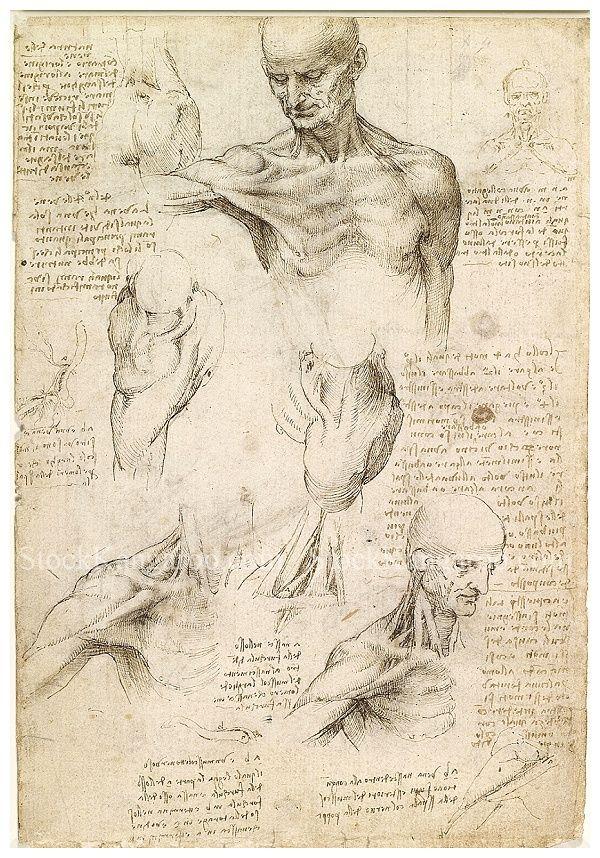 human skeleton drawing muscles