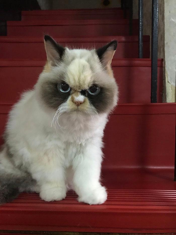 A Fluffy New Grumpy Cat Has Arrived in 2020 Grumpy cat