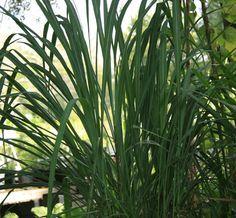Lemongr Florida Native Plants Nursery
