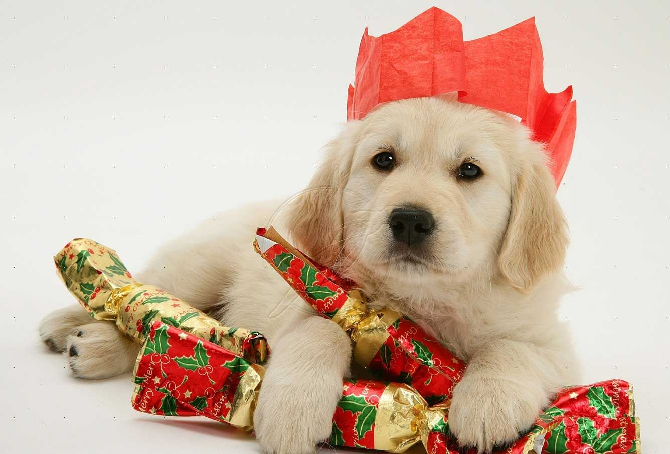I 've Got Three Christmas Gift More photos of cute and funny puppies, visit http://pewpaw.com/i-ve-got-three-christmas-gift/