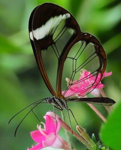 """thebutterflybabe: """"Clear-winged butterflies, also known as glasswings are found mostly in Central and South America. Their wings are clear because they lack the miniature scales found on most other butterfly species. It is thought that their lack of..."""