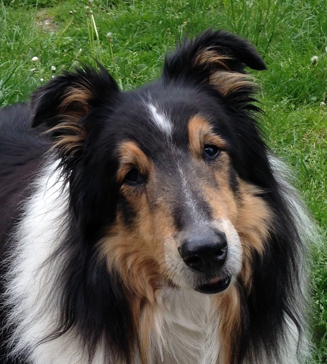 My Love Miss Him So Rough Collie Collie