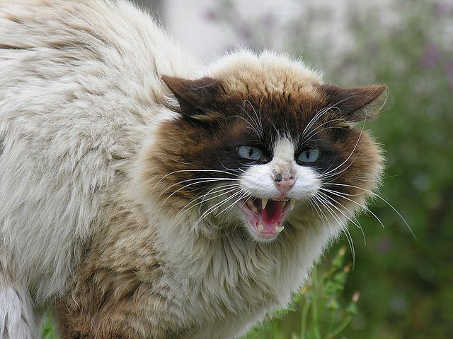 I Knew It I Knew It I Knew It Cats Can Make Us Crazy Literally Crazy Cats Angry Cat Cat Facts