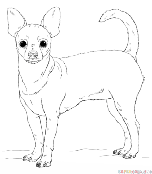 How to draw a chihuahua step by step. Drawing tutorials