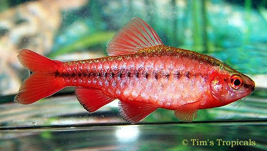 Cherry Barbs - schooling fish, therefore I would have at least 6 in my tank.  I love their colour.