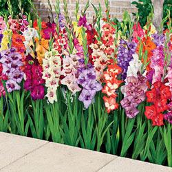 Glamini Dwarf Gladiolus Mix Michigan Bulb Company Gladiolus Flower Bulb Flowers Gladiolus Bulbs
