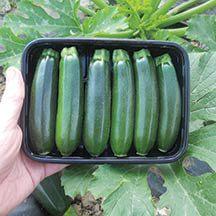 Baby Boom Hybrid Zucchini Squash -No birth control here ...