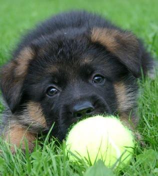 #cute #puppy #GSD