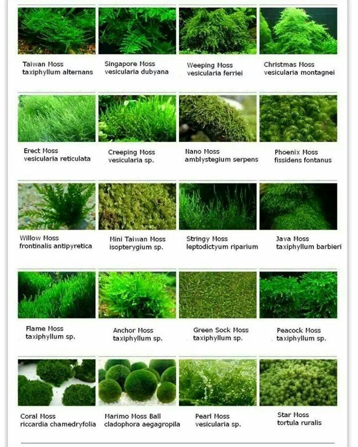 Tropical Aquatic Plants. Fern Nymphoides Aquatica Aquarium Fish Tank 1 Water Banana Live Plants for aquascaping mosses - Aquarium Plants