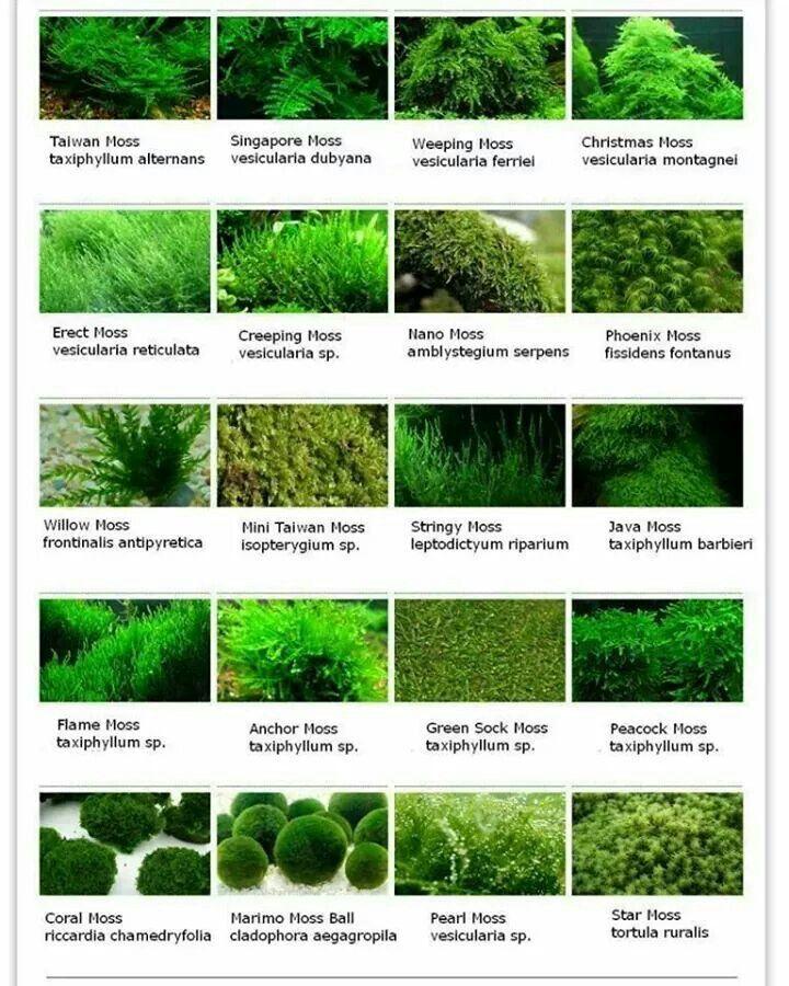 Moss Freshwater Plants Fish Tank Plants Freshwater Aquarium