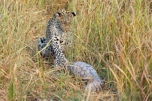 Pangolin sightings are very rare indeed and recently some lucky African Safari travelers to Botswana's Linyanti Concession got quite the sighting when a leopard cub and a pangolin met in broad dayl...
