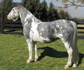 Pelajes De Caballos De La Raza Criolla Y Su Relación Con La Genética 11 Pelaje Overo Horses Cute Horses Pretty Horses
