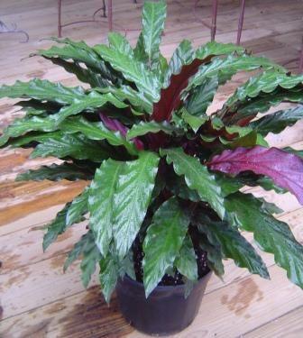 calathea houseplant Excelsa Gardens Product Listing Garden