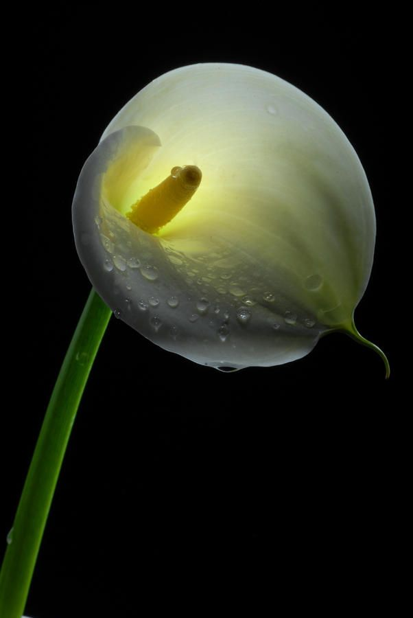 White Calla Lily Photograph by Dung Ma