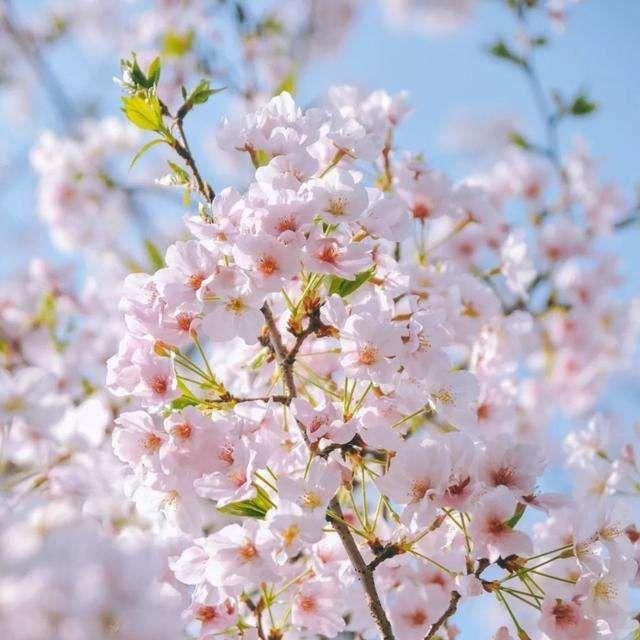 Cherry Tree Cherry Tree Tree Plants