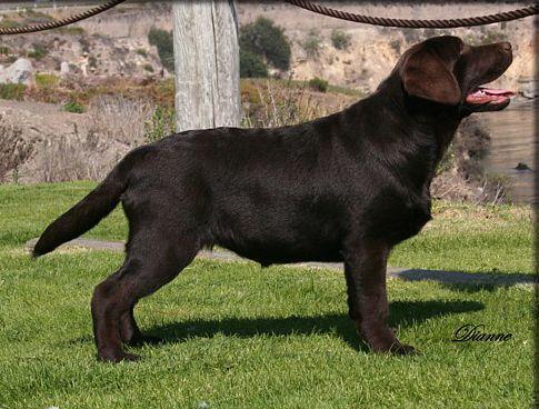 Labs Photos English Labradors California Kenya Labradors Labrador English Labrador Black Labrador