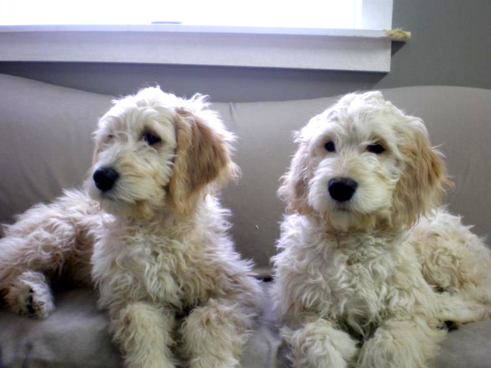 Harlow is an F1 Petite English Teddy Bear Goldendoodle.