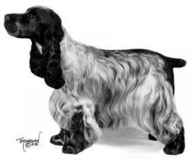 Toelettatura Cocker ~ 9 best english cocker spaniel images on pinterest dogs english