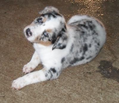 Australian Shepherd Heeler puppies, Blue heeler puppies