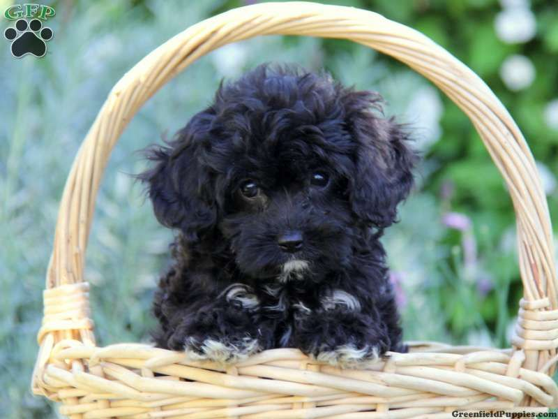 Black Cavapoo Full Grown Google Search Cavoodle Dog Cavapoo
