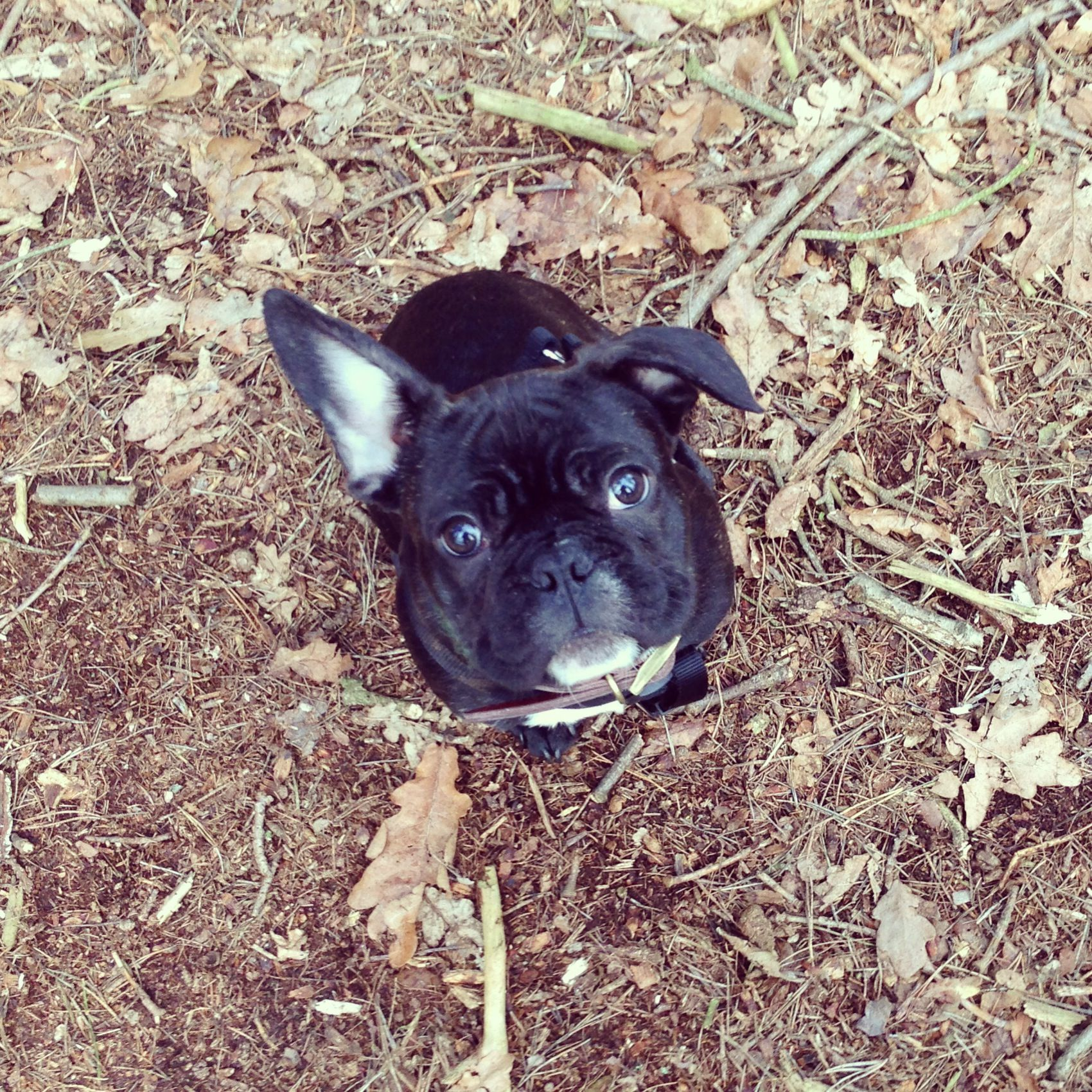 Frenchie with a floppy ear (With images) I love dogs
