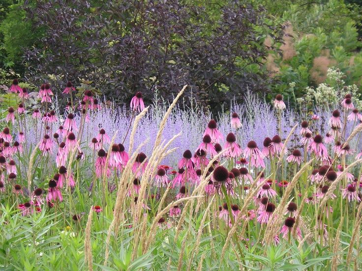 Piet oudolf at rhs wisley echinacea and perovskia for Piet oudolf planting schemes