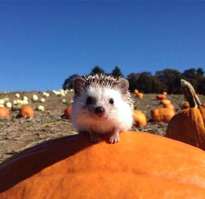 Adorable Traveling Hedgehog Explores The Great Outdoors Hedgehog Pet Cute Hedgehog Cute Animals