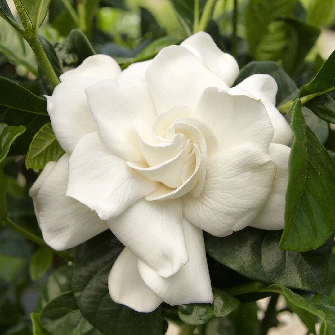 Do You Remember Your First Love We Re Talking About The Gardenia Of Course Monroviaplants Monrovianursery G Fragrant Plant Gardenia Plant Plants
