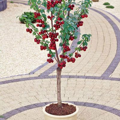 Mighty Midget Dwarf Sweet Cherry This Rare Miniature Cherry Tree Only Grows 7 9 Tall So It S Perfect For A Container Che Dwarf Fruit Trees Tree Seeds Plants
