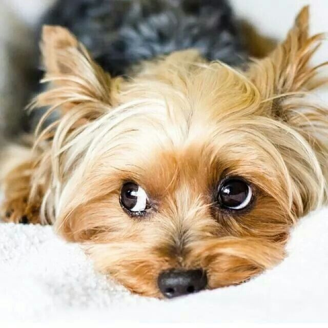 Yorkshire Terrier Energetic And Affectionate Yorkie Puppy Yorkshire Terrier Yorkie Dogs