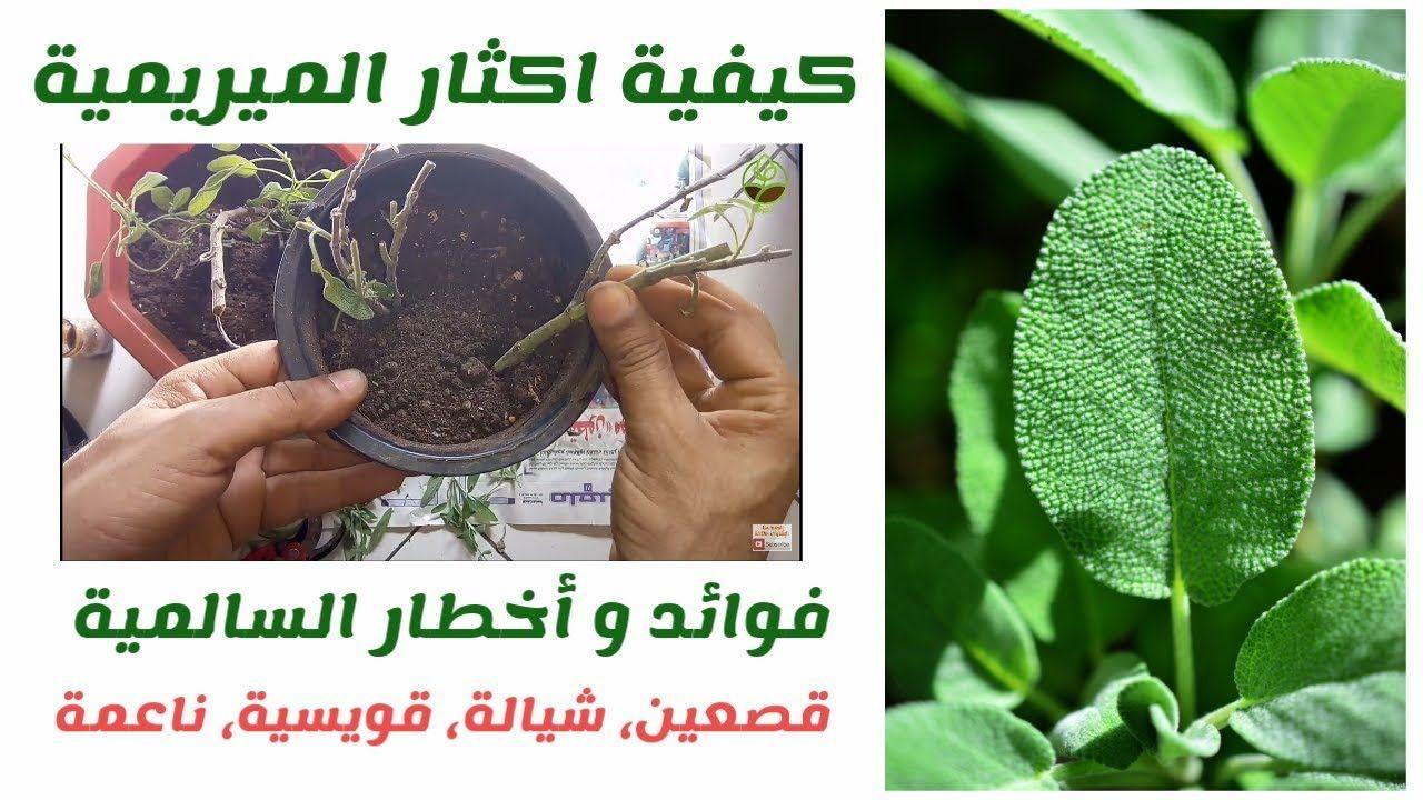 طريقة اكثار نبات الميرمية او السالمية How To Grow Sage Plant Https Youtu Be Qet91cmixaa