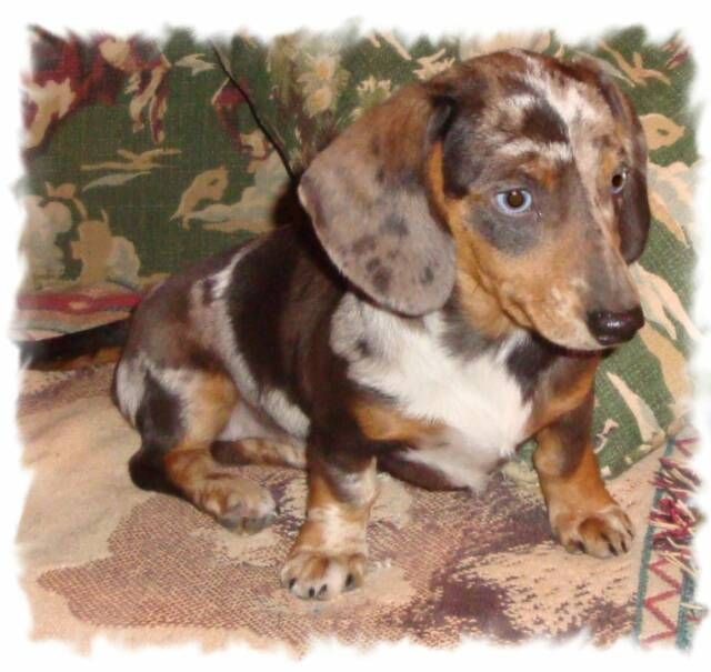 Puppy Mini Dachshund Tri Color Black And Tan Dapple Smooth