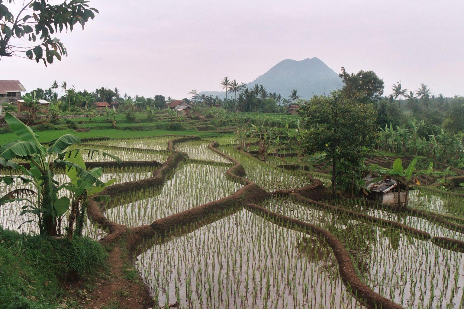 Sawa,s in Indonesie