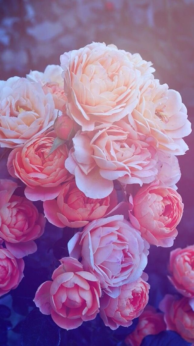 Oboi Iphone Wallpaper Flowers Wallpaper Iphone Roses Flower Wallpaper Beautiful Pink Roses