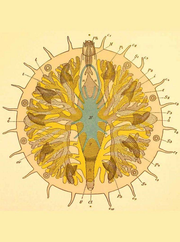 Myzostomida 1884 Grafffig.jpg (762×1024)