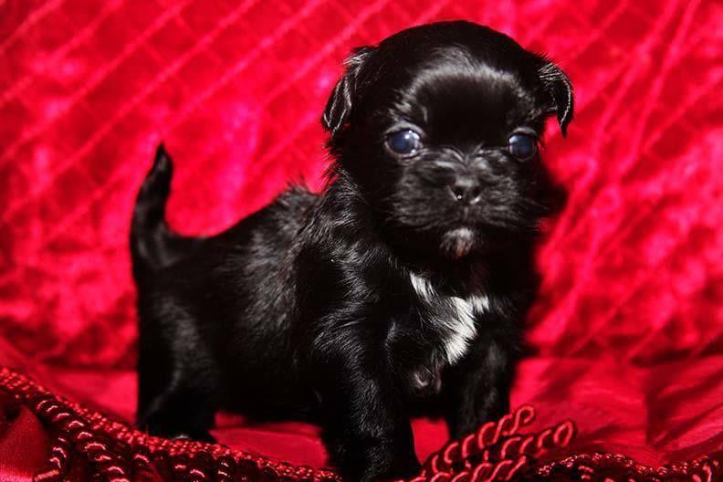 Litter of 3 shih tzu puppies for sale in washburn mo adn