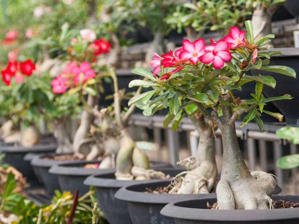 The Life Cycle Of A Desert Rose Adenium Obesum Rose Plant Care